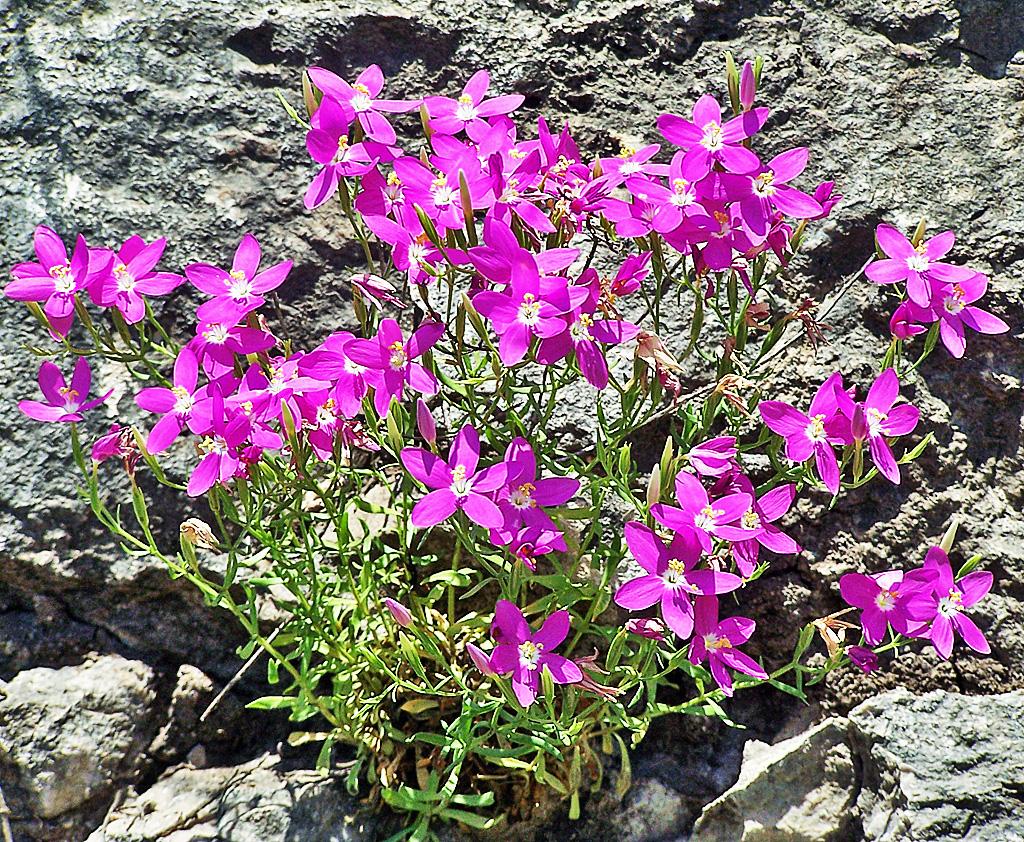 Mountain Pink (Zeltnera beyrichii), Linda C., Southwest Austin, 06162005