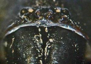 Mygalomorph Spider: Marvin W., Kempner, TX--11.12.08: eyes, frontal view