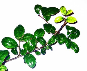 Yaupon Twig with Leaves