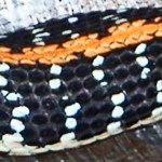 eastern blacknecked garter snake