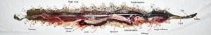 Western Diamond-backed Rattlesnake (Crotalus atrox), 040110, San Antonio, Texas--Exposed Body Cavity, Annotated