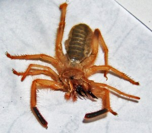 Sand Runner (Ammotrechidae family), 04.06.10; Sergio dM: Reynosa, Tamulipas, Mexico--dorsal body