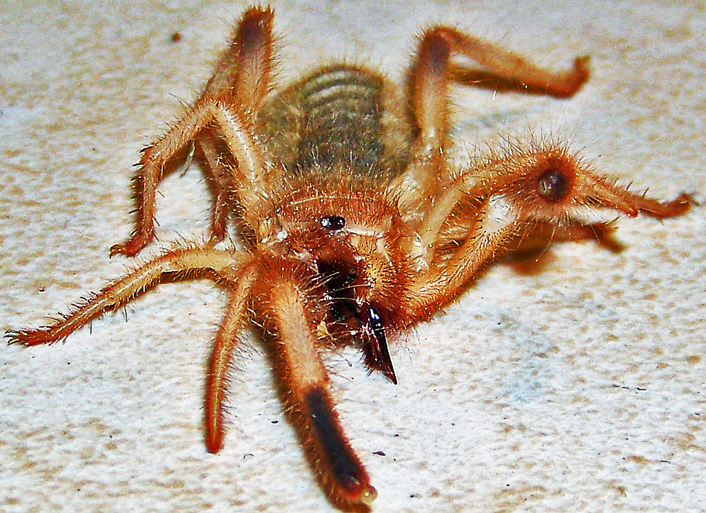Sand Runner (Ammotrechidae family), 04.06.10; Sergio dM: Reynosa, Tamulipas, Mexico--dorsofrontal body