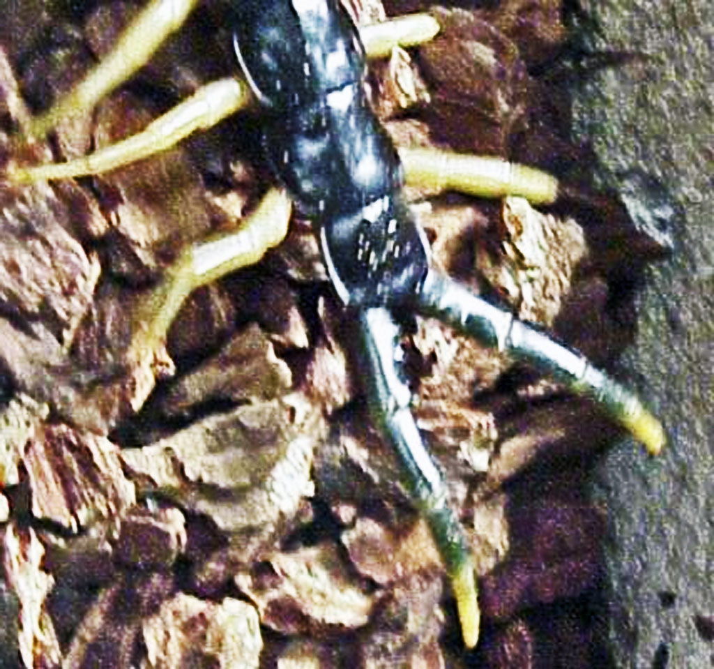 Giant Centipedes in Texas   Bugs In The News