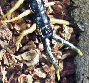 Giant Centipede (Scolopendra heros), Temple. Texas--dorsal posterior