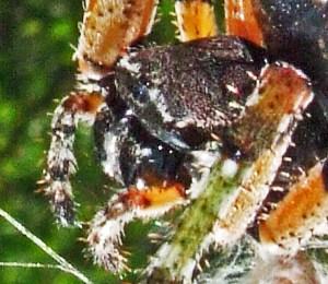 Giant Lichen Orbweaver (Araneus bicentenarius), Head; Becky C., Burnet TX--060510