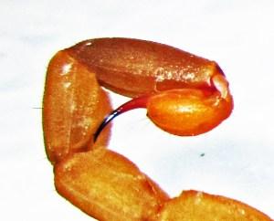 Striped Bark Scorpion (Centruroides vittatus), lateral telson; Cedar Creek, Texas--06.18.10