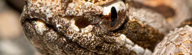 Western Pygmy Rattlesnakes in the Sam Houston National Forest