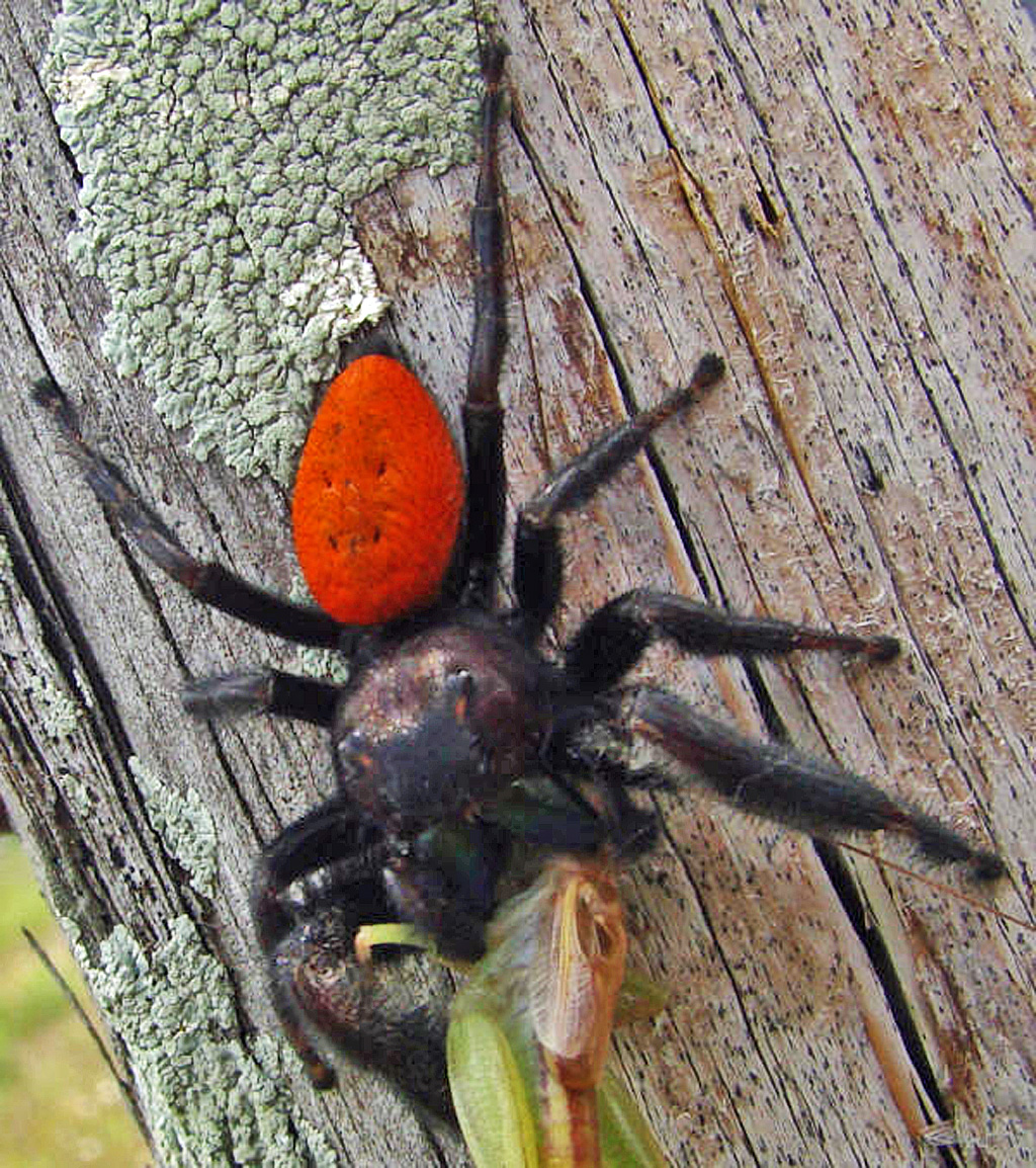 A Male Johnson Jumping Spider In San Isidro Texas Bugs The News Snake Anatomy Diagram Bugsinthenews 1