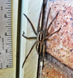Rabid Wolf Spider (Rabidosa rabida), female; Dave B.--08.08.2010