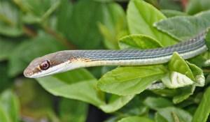 Ruthven's Whip Snake (Masticophis schotti ruthveni); Monica H., Rio Grande Valley, TX--08.04-2010