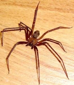 Brown Recluse Spider (Loxosceles reclusa) female; Ralph E., Wichita Falls, Texas--08.10.2007