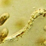 Chironomid Larva--Southeast Texas Marina--03 September 2010