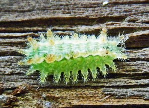 Spiny Oak Slub (Euclea delphinii); Mark Turvey, Humble, TX--3 Nov 2010