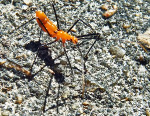 Reduviidae: Milkweed Assassin Bug (Zelus longipes); Mark Turvey, League City, TX--11 NOV 2010