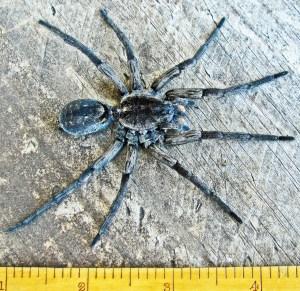Lycosidae: burrowing wolf spider (Geolycosa, Montgomery 1904); dorsal body; Bernard H., Lufkin, TX--6 Nov 201