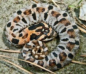 Colubridae: Xenodontinae: eastern hog nosed snake (Heterodon platirhinos); female, dorsal body, Tom Sinclair, Sam Houston National Forest Texas--15 Jun 2010