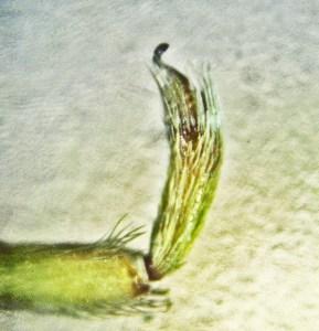 Filistatidae: Southern House Spider (Kukulcania hibernalis); male palpal embolus; Central T--1995