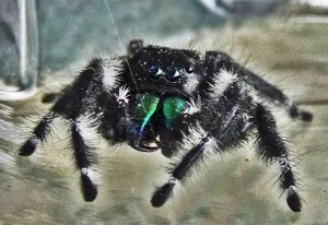 Salticidae: bold jumper (Phidippus audax), male, frontal view; Joy R., San Antonio, TX--19 May 2010
