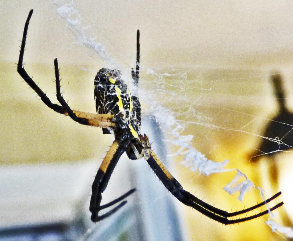 Araneidae: yellow garden spider (Argiope aurantia; Lucas, 1833); female, ventrolateral view; Joy R., San Antonio, TX--19 Jun 2010