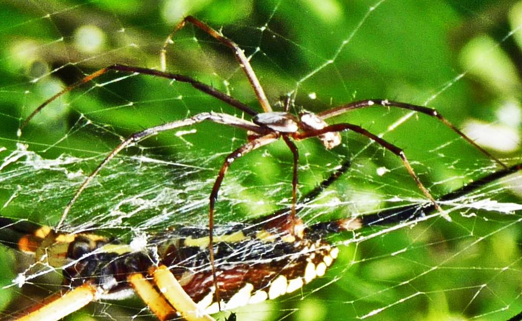 Araneidae: yellow garden spider (Argiope aurantia; Lucas, 1833); male, dorsolateral view; Joy R., San Antonio, TX--29 Jul 2010