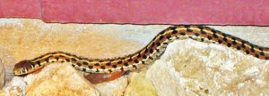 Colubridae: checkered garter snake (Thamnophis marcianus); head and forebody; Austin TX--21 Jul 2004