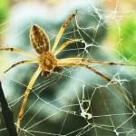 081510 141026 Araneidae: yellow garden spider (Argiope aurantia); ventral male; Amy P., Ponder TX