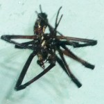 083110 072739 Araneidae: yellow garden spider (Argiope aurantia); ventrum of dead male; Amy P., Ponder TX