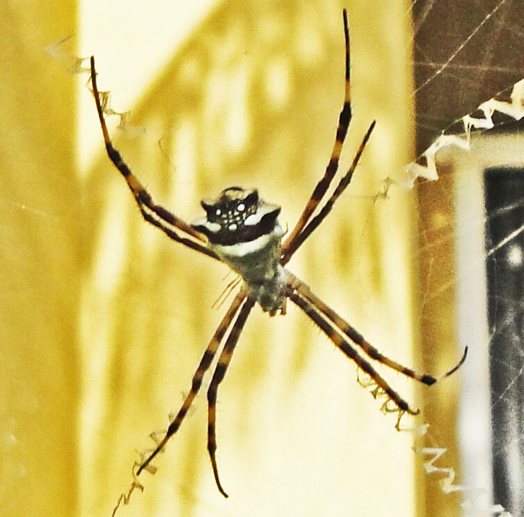 Silver Garden Spiders In Brownsville Tx And Bonaire Netherland Snake Anatomy Diagram Bugsinthenews Araneidae Spider Argiope Argentata Dorsum Kathryn H