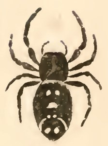 Bold jumper female, as drawn in 1845 by Nicholas Marcellus Hentz