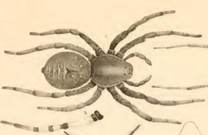 Lycosidae: Giant wolf spider (Hogna carolinensis); Hentz, unk date