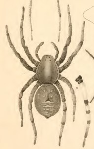 Lycosidae: giant wolf spider (Hogna carolinensis), as drawn by N. M. Hentz, unk. date