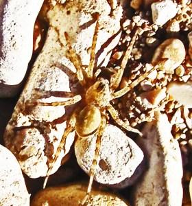 Lycosidae: Field Wolf Spider (Hogna lenta); dorsum; Dave R., east Walnut creek, Austin TX---13 Feb 2011