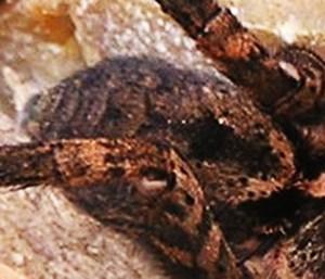 Lycosidae: dorsal opisthosoma; Graham M., East Texas---30 Mar 2008