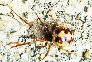 Theridiidae: triangulate household spider (Steatoda triangulosa); Mark Turvey, League City, TX---17 January 2010