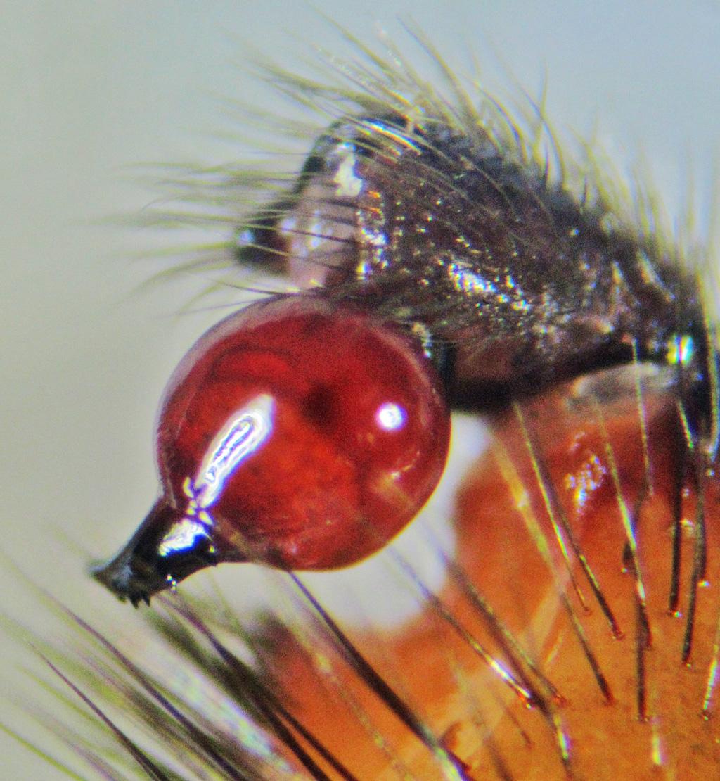 Cyrtaucheniidae: Myrmekiaphila; Prolateral palpal bulb & embolus; Dave P., Cresson TX---4 Mar 2011