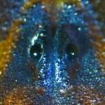 Striped bark scorpion (Centruroides vittatus); median eyes