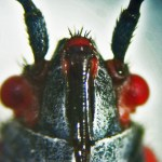 Hemiptera: Lygaeidae: Ventral head: Round Rock, TX 22 June 2011