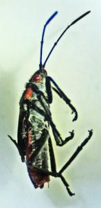 Hemiptera: Lygaeidae: Lateral body: Round Rock, TX 22 June 2011
