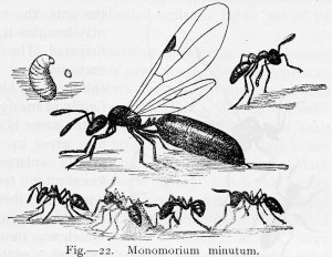 Leland O. Howard: The Insect Book (1914) p.39, Fig 22: Monomorium minutum