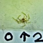 Sicariidae: Loxosceles reclusa 02 juvenile, habitus: SW Austin TX 78735 --- 6 May 2011