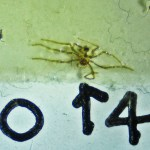 Sicariidae: Loxosceles reclusa 04 juvenile, habitus: SW Austin TX 78735 --- 6 May 2011