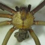 Sicariidae: Loxosceles reclusa 01, adult male, dorsal body: SW Austin TX 78735 --- 6 May 2011