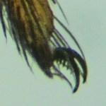 Sicariidae: Loxosceles reclusa 08 adult male, claw: SW Austin TX 78735 --- 10 July 2011