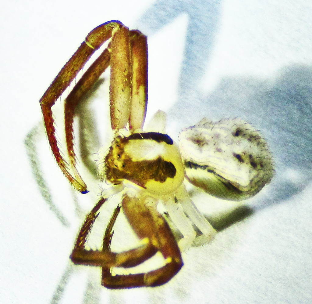 White banded crab spider (Misumenoides formosipes Walckenaer, 1837): habitus; Ella B., Cameron, TX --- 27 July 2011