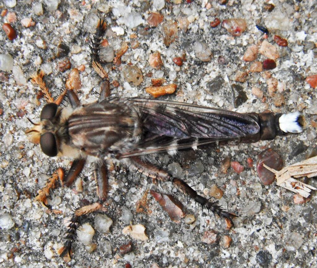 A White Tailed Robber Fly From League City Texas Bugs In The News Snake Anatomy Diagram Bugsinthenews Promachus Bastardii Macq Dorsum Mark Turvey
