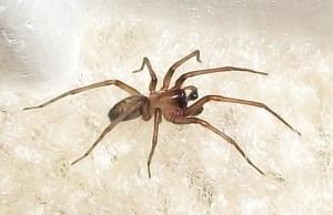 Yellow sac spider: Houston, TX: Truxter --- July 2011