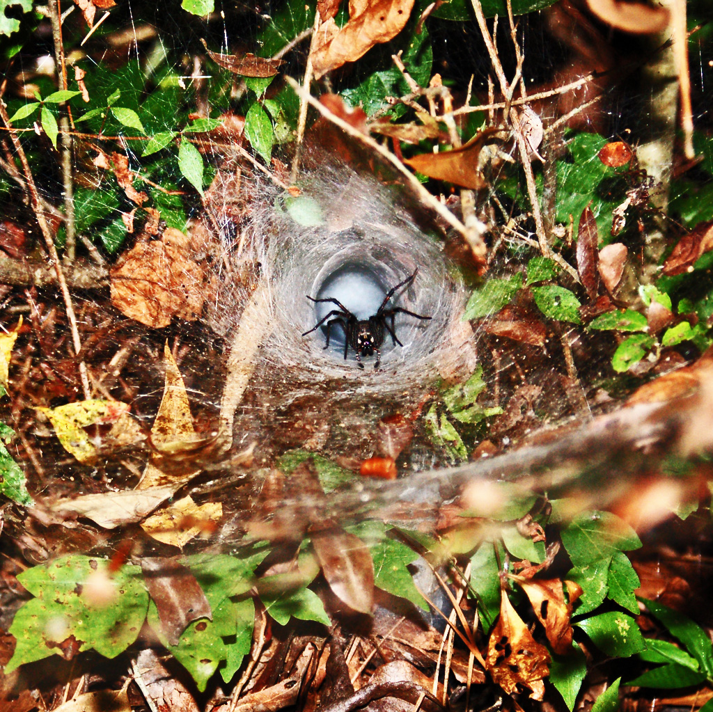 Funnel Web Spiders From Sam Houston National Forest And
