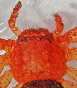 Araneae: Thomisidae: Dorsal carapace & palps; Amanda L., Athens, TX --- 29 Nov 2011