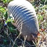 Nine-banded Armadillo (Dasypus novemcinctus); Hutto, TX, 17 Nov 2011 --- Snout Rooting